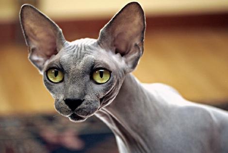 털 없는 고양이 스핑크스 분양 = 수입고양이분양& 캐터리 부천점
